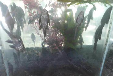 Janitor Fish