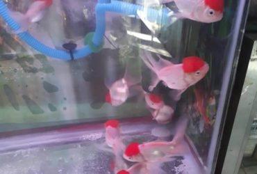 Red Cap Fish