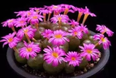 Real Fresh Lithops